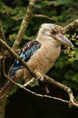 picture of kookaburra  - Portrait of a male Kookaburra perched on a branch - JPG