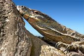 picture of goanna  - a big lace monitor goanna lays and watches - JPG