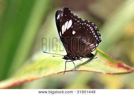 Family: papilionidae. Species: Papilio polytes (male) resting on a green leaf. (Common Mormon, Kleiner Mormon, Mormon Commun) native to India, Nepal, Shri-Lanka, Thailand,  China, Japan, Laos, Vietnam