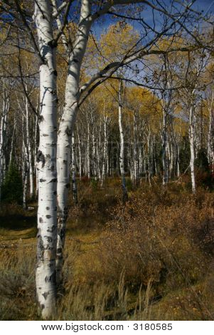 Autumn, Golden Aspens