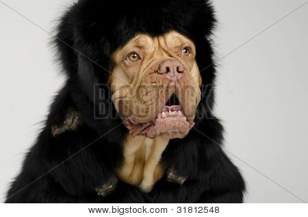 Dog wearing fur coat and cap with ear flaps portrait