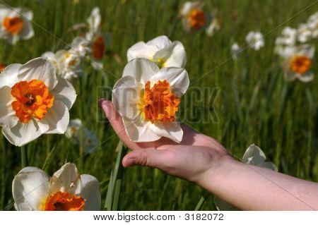 Holding A Daffodil