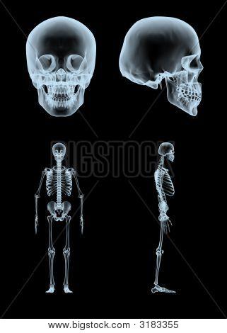 Xray Skeleton And Skull