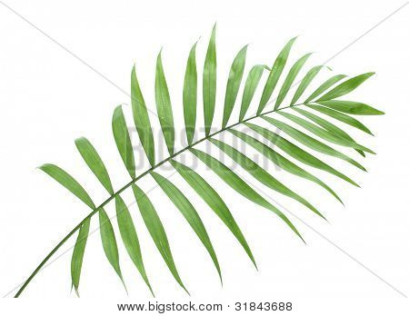 beautiful green palm leaf isolated on white