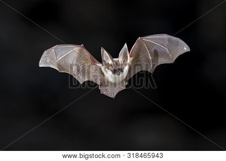 poster of Flying Bat On Dark Background. The Grey Long-eared Bat (plecotus Austriacus) Is A Fairly Large Europ