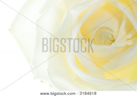 Macro GeïSoleerde Roos