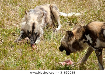 photo of two cape hunting dogs eating meat