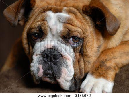 Bulldog 9 Months