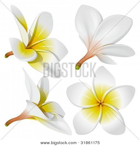 Frangipani (Plumeria). Hawaii, Bali (Indonesia), Shri-Lanka tropical necklace flowers. Rasterized version