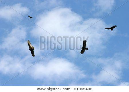 Hovering Kettle Of Vultures