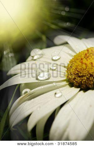 Closeup of a common daisy