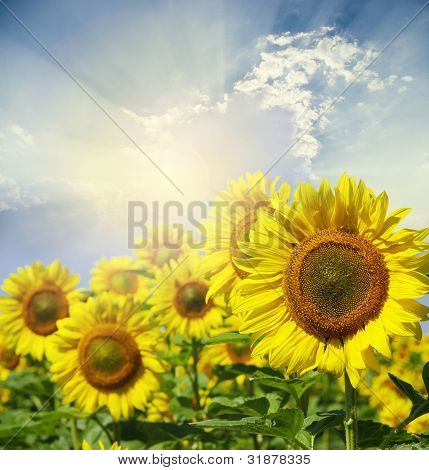 Campo de flores de girasoles