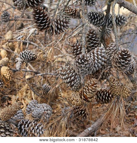background of pine cones