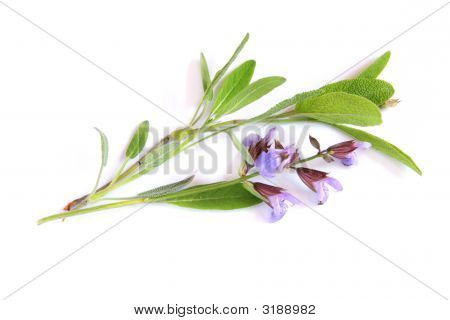 Salvia Twigs With Flowers