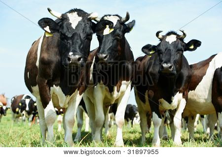 Group of White milch cow with black spots grazing on green grass pasture over blue sky