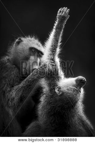 Baboons grooming (Artistic processing)