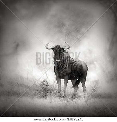 Blue Wildebeest in Rainstorm (Artistic processing)