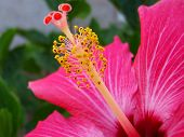 picture of hibiscus flower  - a macro photo of the stamen and carpel of a hibiscus plant - JPG