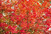 Foliage Texture. Red Maple Tree. Autumn Is Coming. Vibrant Maple Leaves Close Up. Floral Pattern Des poster