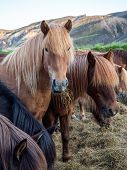 Icelandic Horses. The Icelandic Horse Is A Breed Of Horse Developed In Iceland. Although The Horses  poster