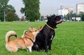 Young Energetic Welsh Corgi Pembroke Is Playing With Cane Corso. How To Protect Your Dogs From Overh poster