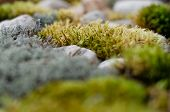 Beautiful Moss, Lichen And Stones. Moss Texture Background. Abstract Pattern. Selective Focus poster