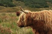 Hairy Long Haired Highland Cow Eating Grass In A Green Field In Scotland poster