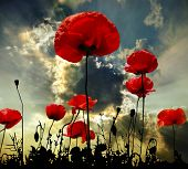 stock photo of poppy flower  - Poppy flower in the sky - JPG