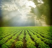 picture of potato-field  - Potato field  under blue sky - JPG