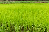 Rice Field For Food Design, Rice Field Green For Background Nature, Image Background Of Rice Field,  poster