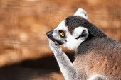 Ring Tail Lemur. This Is A Side View Of A Ring Tail Lemur On A Tree poster