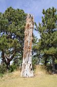 picture of western nebraska  - dead pine tree and forest - JPG