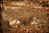 Wild Tigers Mating In The Nature Habitat. Tigers Mating During The Golden Light. Wildlife Scene With poster
