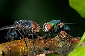 House Fly And Greenbottle. The Name Green Bottle Fly Or Greenbottle Fly Is Applied To Numerous Speci poster