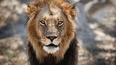 African Lion Portrait In The Beautiful Nature Habitat. Wild Animal In Africa. African Wildlife. This poster