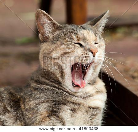 Bocejo tartaruga tabby Cat