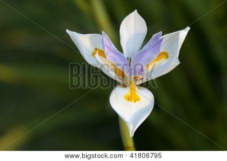 White, Yellow And Violet Bloom Of Iris Dietes Grandiflora