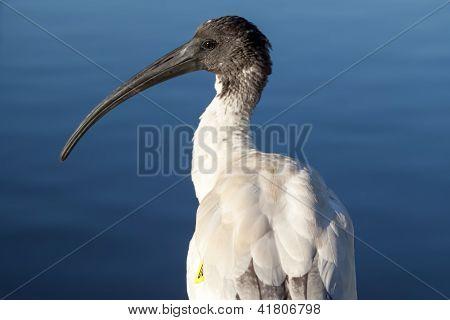 Tagged Australian White Ibis (threskiornis Molucca)