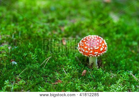 Beautiful red cap of amanita mushroom in the forest