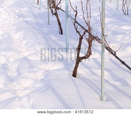 Vine Covered With Snow