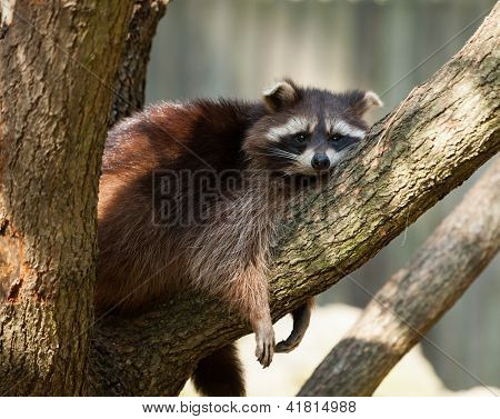 Adult raccoon (procyon lotor) resting on a tree brunch