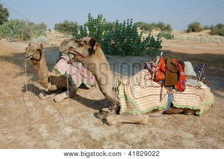 Two Arabian Camels At Thar Desert Safari In Rajastan,india
