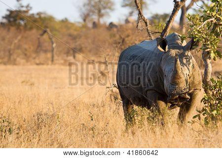 Rhino Standing In The Bush