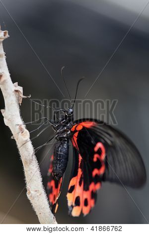 Papilio rumanzovia, Scarlet Mormon. The beautiful tropical butterfly sits on branch