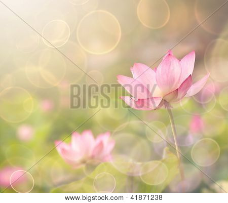Lotus flowers in garden under sunlight.