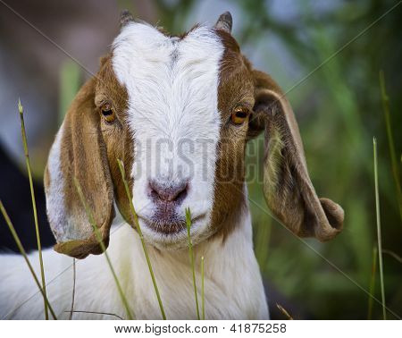 Goat Staring