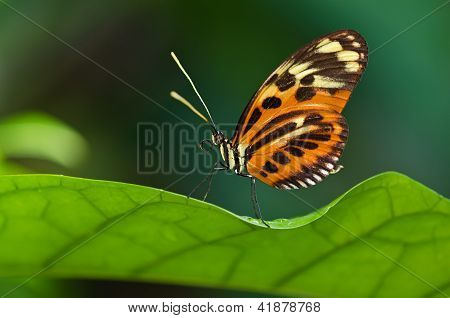 Tiger Longwing butterfly (Heliconius ismenius)