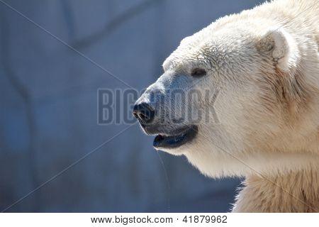Drooling Polar Bear