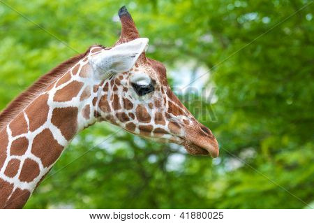 Giraffe Portrait 4