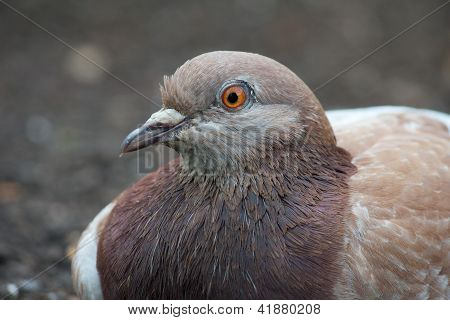 Lazy Pigeon 2